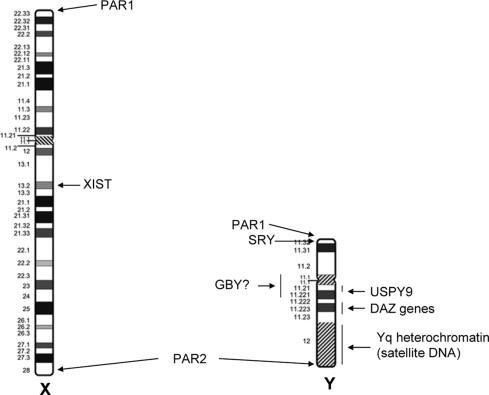 Sex Chromosomes and Sex Chromosome Abnormalities - Clinics ...